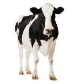 gallery/cow-wallpapers-10